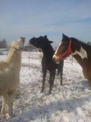 Konie i śnieg