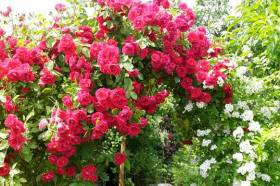 Płomienne róże